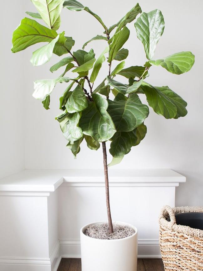 Geigenfeige Trendpflanze